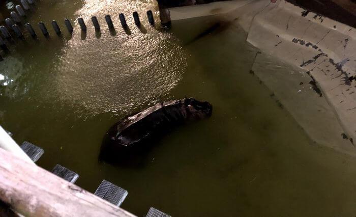 水の中を動き回るカバ