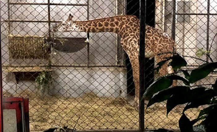 キリン舎の中で餌を食べるキリン