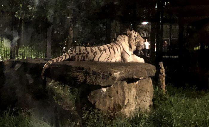 夜の動物園でライトアップされているトラ