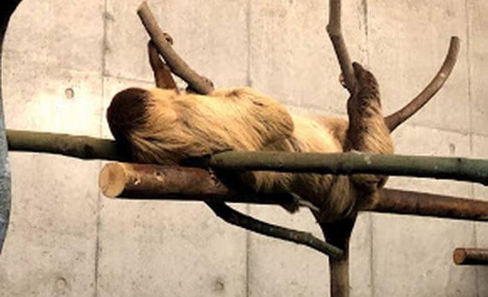 木の上で寝ているナマケモノ